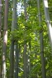 热带竹子 免版税库存图片