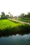 热带米领域 库存照片