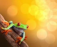 热带红眼睛的雨蛙哥斯达黎加 免版税图库摄影