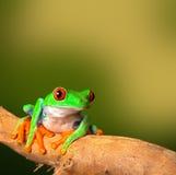 热带红眼睛的treefrog哥斯达黎加 免版税库存照片