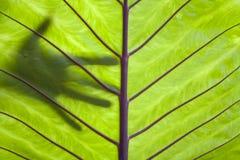 热带红色成脉络的叶子 免版税图库摄影