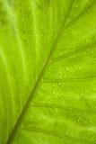 热带绿色叶子的雨珠 库存照片