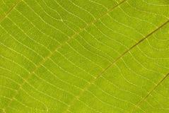 热带绿色叶子纹理抽象背景特写镜头  库存照片