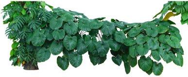 热带绿色留下叶子,密林在与包括的裁减路线的白色背景隔绝的厂灌木 免版税图库摄影