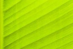 热带绿色香蕉叶子表面结构极端宏观特写镜头照片 免版税库存图片