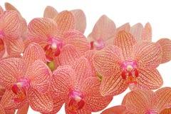 热带美丽的兰花 免版税库存照片