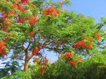 热带美丽的开花的结构树 免版税图库摄影