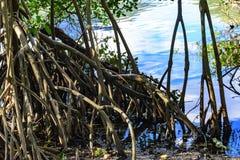 热带美洲红树的密集和典型的植被 免版税图库摄影