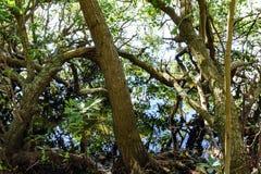 热带美洲红树的密集和典型的植被 免版税库存照片