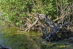 热带美洲红树的密集和典型的植被 库存照片