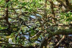 热带美洲红树的密集和典型的植被 库存图片