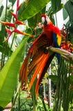 从热带背景的红色Ara鹦鹉 免版税图库摄影