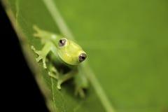 热带背景青蛙绿色少年好的结构树 免版税库存图片