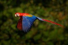 从热带自然的野生生物场面 在森林鹦鹉飞行的红色鸟在绿色密林栖所 在飞行的红色鹦鹉 猩红色M 库存照片