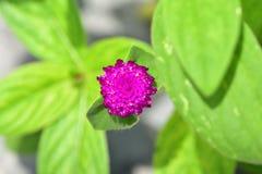 热带花在巴厘岛 免版税图库摄影