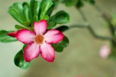 热带花桃红色Adenium,沙漠上升了 免版税库存照片