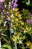 热带花植物ansellia africana豹子兰花 免版税库存图片