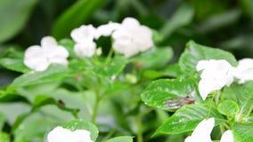 热带花特写镜头  背景美丽热带 背景绿色红色 热带的背景 微小的白色 股票录像