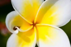 热带花的列伊 免版税库存图片