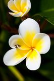 热带花的列伊 免版税库存照片