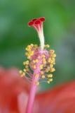 热带花的雌蕊 免版税库存图片