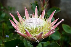 热带花的fynbos 免版税图库摄影