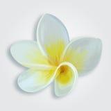 热带花赤素馨花羽毛 库存照片