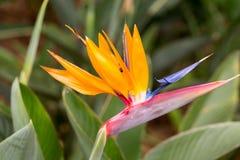 热带花鹤望兰或天堂鸟花在马德拉岛海岛上的丰沙尔, 免版税库存照片