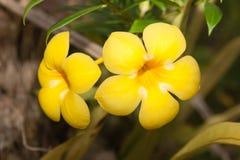 热带花-黄蔓cathartica 免版税库存照片