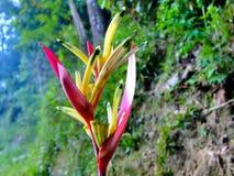 热带花Heliconia。 库存照片