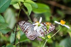 热带蓝色和黑蝴蝶坐花 图库摄影