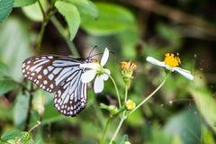 热带蓝色和黑蝴蝶坐花 免版税库存图片