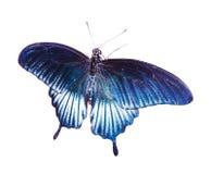 热带蓝色的蝴蝶 库存照片