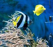 热带蓝色鱼和clownfish 库存照片