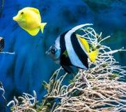 热带蓝色鱼和clownfish 免版税图库摄影