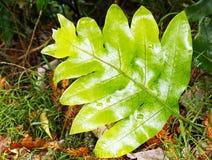 热带蕨植物 图库摄影