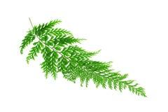 热带蕨的叶子 免版税图库摄影