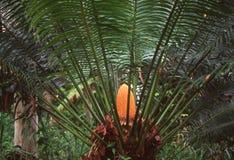 热带蕨的结构树 免版税库存照片