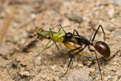 热带蚂蚁camponotus巨型的gigas 免版税库存图片