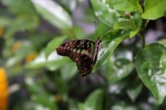 热带蝴蝶在它的自然生态环境 图库摄影