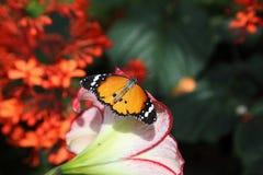 热带蝴蝶在它的自然生态环境 库存图片