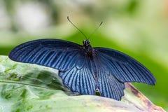 热带蝴蝶坐叶子 免版税库存照片