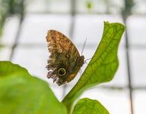 热带蝴蝶的叶子 图库摄影