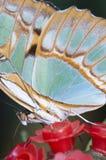热带蝴蝶的宏指令 库存照片