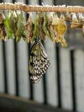 热带蝴蝶的茧 免版税库存照片