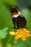 热带蝴蝶的heliconius 免版税图库摄影