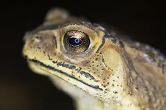 热带蟾蜍关闭 免版税库存图片