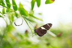 热带邮差蝴蝶Heliconius erato哺养和restin 库存照片
