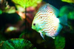 热带铁饼鱼红色的symphysodon 库存图片