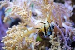 热带镶边小的鱼 免版税库存照片